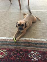 puggle on a pet friendly indoor outdoor sisal rug